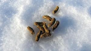 Poepjes van de sneeuwhoen