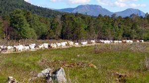 De geiten komen ons tegemoet