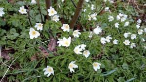 Hvitveis - witte anemoon